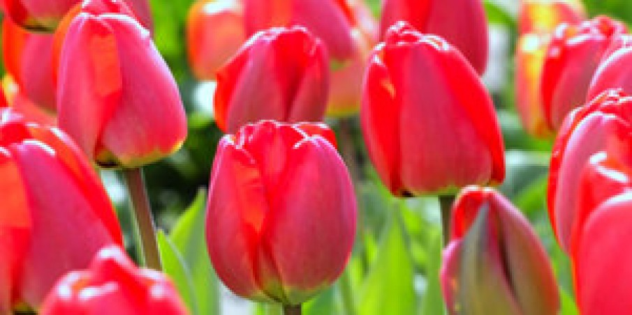 Planting Flower Bulbs: What To Do, Mistakes To Avoid