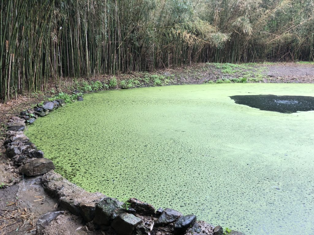 Pond Restoration: Dealing with Duckweed & Bamboo | Chappaqua, NY