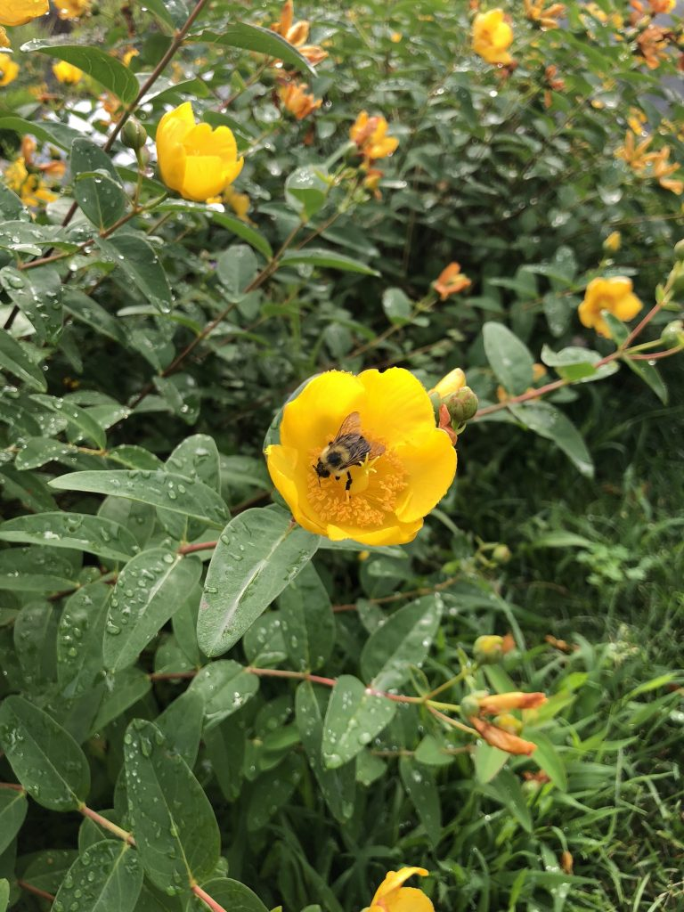 Uniting the Buzz: the Case for Pollinator Pathways in Westchester County & Fairfield County