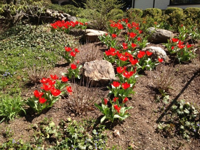 Landscape Design using Spring Flowering Bulbs for a Dramatic Display – Westchester County